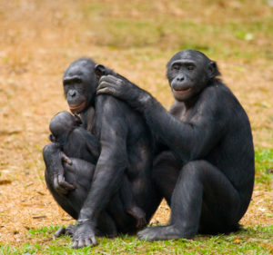 Be Like a Bonobo! Why the Future of Leadership is Female